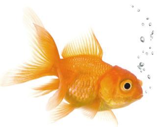 goldfish2_av2